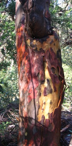 Multicoloured bark on a gum tree