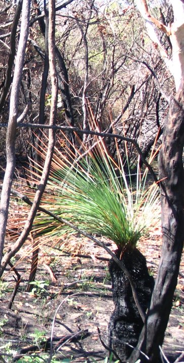 grass tree survives fire