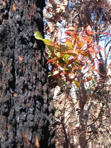 Tree regrowth after fire