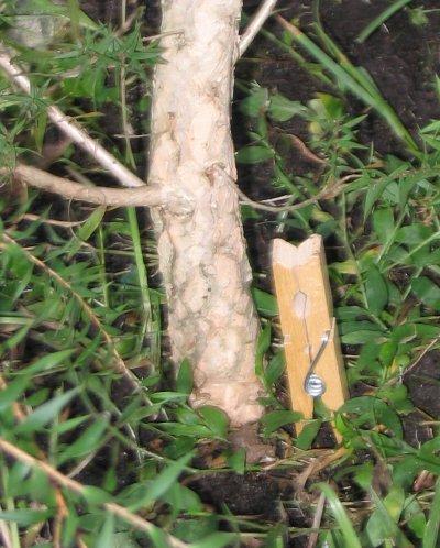 My Prickly Paperbark tree