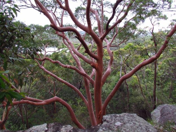 Sydney Red Gum tree