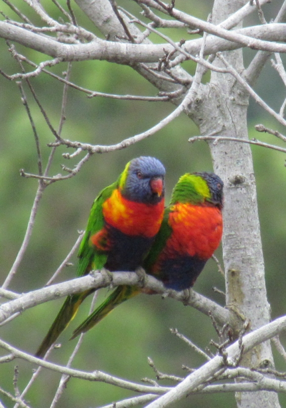 Rainblow Lorikeets