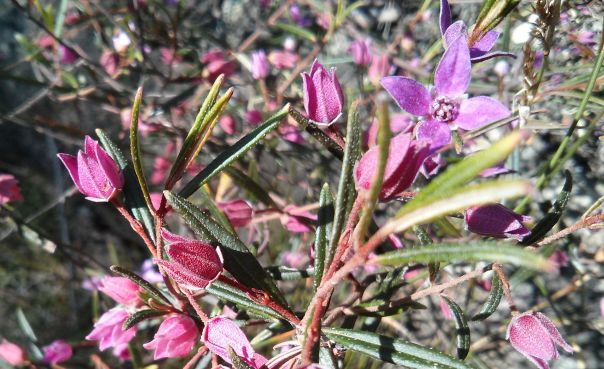 Early spring flowers in the Australian bush