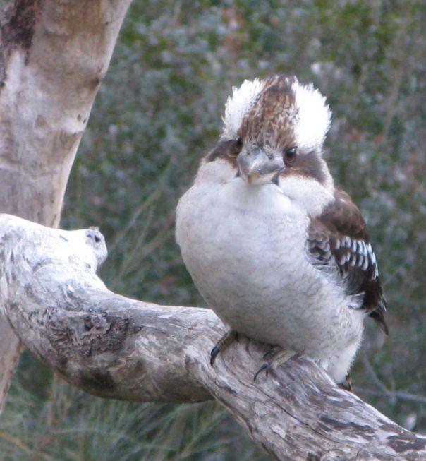A kookaburra looking goofy