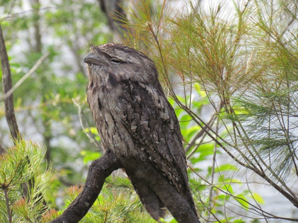 A Tawny Frogmouth chilling out